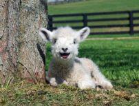bebe-ovelha